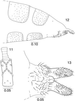 Lopesia leandrae, sp. n., female. 11. Fifth flagellomere. 12. 6th–8th abdominal segments (lateral view). 13. Cerci (ventral view). Scale bars in mm.