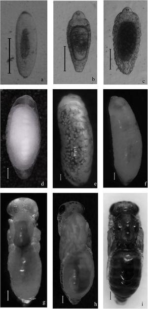 Immature stages of Tetrastichus giffardianus. Egg (A); first-instar larva (B, C); second-instar larva (D); third-instar larva (E); pre-pupa (F); pupa at three different stages of melanization (G, H, I). Scale bar=0.1mm.