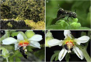 "(14) Type locality of Rhophitulus ater sp. nov. in Parque Nacional São Joaquim, Santa Catarina, Brazil. The bees were collected on flowers of Blumenbachia catharinensis growing over ""Taipas"" (old fences built with stones to delimit pasture areas); mixed Araucaria forest in background. (15–17) Rhophitulus ater sp. nov. in Blumenbachia catharinensis. (15) Male and female in mating position on young leaves. (16) Female foraging on a pendulous flower; the black arrow indicates a hind tibia filled with pollen of B. catharinensis. (17) Male sleeping in a flower."