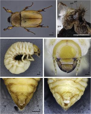 Cyclocephala tucumana; 1, adult male, dorsal; 2, external genitalia of adult female, ventrolateral; 3‒4, third-instar larva; 3, lateral; 4, head, frontal; 5‒6, terminalia of female pupa, ventral (normal genital ampulla, teratological genital ampulla). fgl‒fgr, left and right lobes of female genital ampulla; gcx, left gonocoxite; ggl, left gonangulum; gst, left gonostyle; ppt, left paraproct (barely distinct). Scale, Figs. 1, 3, 5 = 1 mm; Figs. 2, 4 = 0.5 mm (Photos by Rafael Sousa, MZSP).
