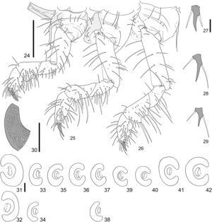 Cyclocephala tucumana, third-instar larva; 24–26, left legs and pleurites (anterior, medial, posterior); 27–29, right pro-, meso-, and metapretarsus, dorsal; 30, detail of ventral arm of mesothoracic spiracle; 31–32, mesothoracic spiracle; 33‒34, abdominal spiracle I; 35‒36, abdominal spiracle II and III; 37‒38, abdominal spiracle IV; 39‒42, abdominal spiracles V–VIII. Scale, Fig. 24 = 0.5 mm; Figs. 27, 30, 31 = 0.1 mm.