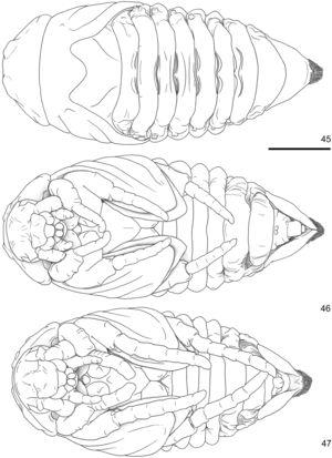 Cyclocephala tucumana, pupa; 45‒46, female (dorsal, ventral); 47, male, ventral. Scale = 2.5 mm.