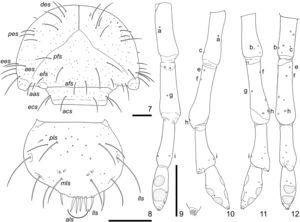 Cyclocephala tucumana, third-instar larva; 7, cranium and clypeus, dorsal; 8, labrum, dorsal (epipharyngeal ventral setae omitted); 9–12, left antenna (dorsal, inner, outer, ventral; dorsal side with apex detail; some sensilla numbered to easily the correspondence). Chaetotaxy (italic) on the text. Scale = 0.5 mm (antennal details with magnification four times bigger than antennae).