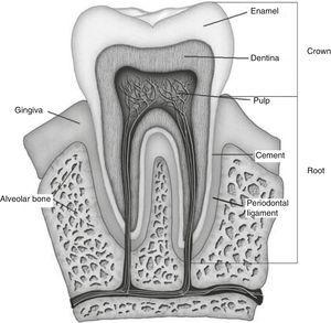Dental anatomy.