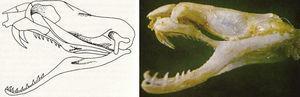 Cráneo proteroglifa de la coral «rabo de ají» Micrurus mipartitus.