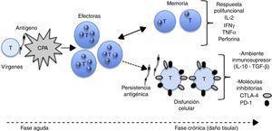Modelo de diferenciación de linfocitos T. Las CPA presentan los antígenos parasitarios a los linfocitos T vírgenes. Se produce expansión clonal y se convierten en células efectoras. Con la disminución o eliminación del antígeno se reduce la población efectora y se generan células de memoria. Las células de memoria, al entrar en contacto con el antígeno, desencadenan una respuesta polifuncional con producción de citocinas y moléculas efectoras. Si el antígeno persiste se induce disfunción celular; las células cambian el patrón de secreción de citocinas, expresan marcadores de agotamiento clonal y no controlan la infección aunque producen daño tisular. CPA (células presentadoras de antígeno), CTLA-4 (proteína citotóxica asociada a los linfocitos T), IL-2 (interleucina 2), INF-γ (interferón gamma), PD-1 (muerte celular programada tipo 1).