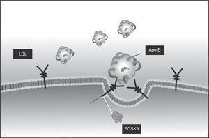 RLDL y unión de la LDL.