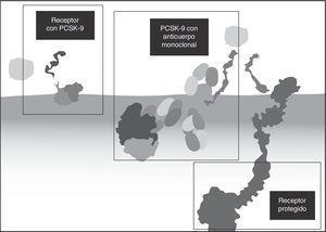 Mecanismo de acción de los anticuerpos contra la PCSK9.