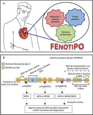 Correlación clínico-molecular de variantes patogénicas en las miocardiopatías. A. La expresión clínica de la enfermedad es el resultado de la interacción de una mutación con factores genéticos (presencia de segundas mutaciones en el mismo u otros genes) y/o ambientales (deporte, miocarditis, entre otros) adicionales. B. Diferentes variantes patogénicas en un gen sarcomérico (se pone de ejemplo al gen MYBPC3 que codifica la isoforma cardiaca de proteína C de unión a la miosina) pueden asociarse a diferentes tipos de miocardiopatías. A su vez, una misma variante puede dar lugar a diferentes fenotipos, incluso entre portadores de una misma familia. MCH: miocardiopatía hipertrófica&#59; MCD: miocardiopatía dilatada&#59; MCNC: miocardiopatía no compactada.