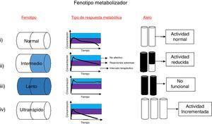 Fenotipo metabolizador. Existen cuatro fenotipos metabolizadores relacionados con cambios en la respuesta de un paciente frente a terapias farmacológicas: i) Metabolizadores normales: estos metabolizan los fármacos de manera normal, es decir, procesan los fármacos en tiempo y forma adecuada. Su genotipo es homocigoto para alelos de actividad normal y son conocidos como *1/*1. ii) Metabolizadores intermedios: metabolizan los fármacos de manera lenta comparada con el fenotipo normal&#59; estos presentan un genotipo heterocigoto con un alelo de actividad reducida, junto con un alelo no funcional. iii) Metabolizadores lentos: poseen deficiencia para metabolizar los fármacos&#59; este tipo de fenotipo requiere menores dosis del medicamento, y poseen dos copias iguales del alelo no funcional. iv) Metabolizadores ultrarrápidos: se caracterizan por tener mayor capacidad metabólica. La dosis media del fármaco es metabolizada de forma inmediata y como resultado su concentración en plasma disminuye, estando por debajo de los niveles terapéuticos, por lo que es necesario aumentar su dosis. La selección de un fenotipo se basa en el número de copias y tipo de cambio que puedan presentar en los genes que codifican las enzimas metabolizadoras.
