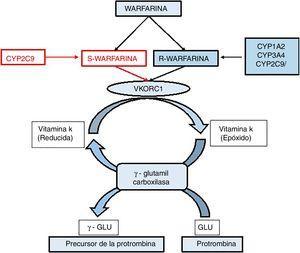 Vía metabólica de la warfarina. El gen diana de la warfarina, VKORC1, codifica el complejo 1 de la vitamina K epóxido reductasa que es un cofactor clave en la carboxilación de ciertos residuos de glutamato, los cuales son esenciales para el correcto funcionamiento de los factores de coagulación II, VII, IX y X, en este proceso la vitamina K es oxidada. La acción de la warfarina inhibe la enzima VKOR lo que impide la activación de los factores de la coagulación.