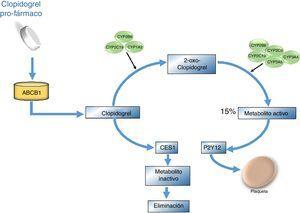 Vía metabólica del clopidogrel. El clopidogrel se administra en forma inactiva, es decir requiere ser activado una vez se encuentre dentro del organismo. Su absorción se efectúa en el intestino por medio de la glicoproteína P codificada por el gen ABCB1. Durante la biotransformación del clopidogrel, primero se da la formación de 2-oxo-clopidogrel y de este pasa a su metabolito activo por medio de las enzimas CYP2C19, 3A4/5,2B6 y 2C9&#59; finalmente este proceso inhibe el receptor plaquetario de adenosín difosfato (P2Y12) y de este modo se impide la agregación plaquetaria. El 15% del clopidogrel es transformado al metabolito activo y el resto es hidrolizado por esterasas como CES1.