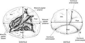Estructura del anillo tricúspide y su comportamiento durante el ciclo cardiaco. También se detallan los grupos musculares papilares que hacen parte del funcionamiento valvular.