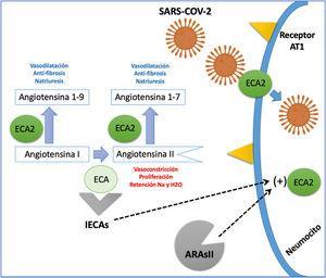 Interacción del sistema renina-angiotensina y el SARS-CoV-2. La ECA (enzima convertidora de angiotensina) cumple la función de convertir la AG1 (angiotensina I) en AgII (angiotensina II) una proteína con acción vasoconstrictora, proliferativa y pro-fibrótica. La ECA2 (enzima convertidora de angiotensina 2) genera el paso de AnGI en AGI-9 y la AGII en AGI-7; estas dos proteínas resultantes tienen un efecto vasodilatador, anti-fibrótico y natriurético contrario al de la angiotensina II. La ECA2, además funciona como proteína de membrana que permite la entrada del SARS-CoV-2 a la célula. Los IECA (inhibidores de la enzima convertidora de angiotensina) y los ARAII (antagonistas del receptor de angiotensina II) aumentan la expresión de la ECA2; sin embargo, aún no está claro si su efecto puede ser deletéreo o benéfico en pacientes con infección por SARS-CoV-2.