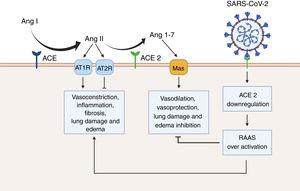 Renin angiotensin system (RAAS) overactivation as a result of SARS-CoV-2 infection. In physiological conditions, the angiotensin converting enzyme (ACE) metabolizes angiotensin I (Ang I) to angiotensin II (Ang II), thus leading to increased vasoconstriction, inflammation, fibrosis, lung damage and edema. Conversely, angiotensin converting enzyme 2 (ACE 2) inactivates Ang I by generating angiotensin 1-7 (Ang 1-7), which then interacts with the G-protein-coupled receptor Mas. This interaction is known to be vasoprotective, since it antagonizes the actions of Ang I. However, SARS-CoV-2 downregulates the expression of ACE2, thus leading to RAAS overactivation and to increased lung damage and edema. Created with BioRender.com.
