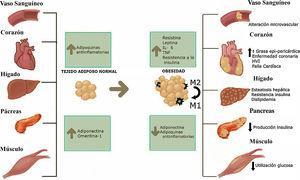 Efecto de la obesidad sobre diferentes tejidos del organismo. Los tejidos más importantes que están relacionados con el riesgo cardiovascular pueden ser afectados por la acumulación exógena de grasa. Con el aumento de peso, la célula grasa tiene un proceso de hipertrofia y un consecuente incremento de la producción de adipoquinas proinflamatorias. Aumento de la acumulación de macrófagos tipo 2.