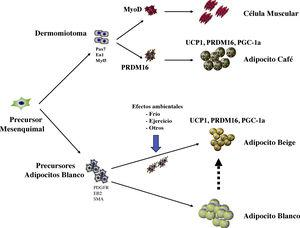 Desarrollo embrionario de las células adiposas. Los adipocitos provienen de un precursor común de origen mesenquimal. En el caso de los adipocitos café, su aparición es más temprana y provienen del dermomiotoma en forma común con las células musculares. El factor de transcripción PRMD16 diferencia los precursores adipocitos café de las células musculares. El adipocito café cuenta con moléculas que producen energía en forma de calor, como UCP-1, PGC1alfa. Los adipocitos blancos cuentan con unos marcadores específicos, que, con la modificación ejercida por el ambiente, pueden generar adipocitos beige, los que pueden desarrollar la expresión de moléculas similares a la de los adipocitos café y producir calor.