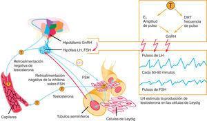 Eje hipotálamo-hipófiso-gonadal. Se muestra la liberación pulsátil de las gonadotrofinas.