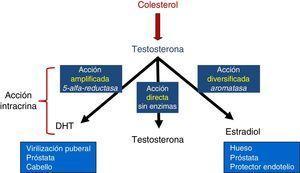 Esquema de vías de síntesis de testosterona con sus 3 divisiones: amplificada, directa y diversificada.