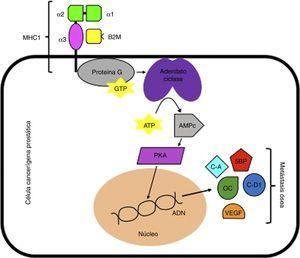 Señalización mediada por B2M. ADN: ácido desoxirribonucléico; AMPc: adenosín monofosfato c; ATP: adenosín trifosfato; B2M: beta 2 microglobulina; C-A: ciclina A; C-D1: ciclina D1; GTP: guanosín trifosfato; MHC I: complejo mayor de histocompatibilidad 1; OC: osteocalcina; PKA: proteína quinasa A; SBP: sialoproteína ósea; VEGF: factor de crecimiento endotelial vascular.