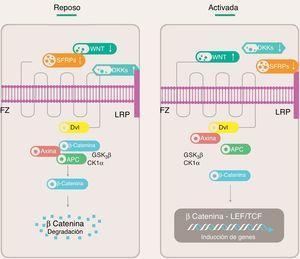 Vía canónica de señalización Wnt. APC: proteína de poliposis adenomatosa del colon; CK1α: caseína quinasa 1α; Dkk: Dickkopf; Dvl: proteína Disheveled; FZ: receptor Frizzled; GSK3β: glucógeno sintasa quinasa 3β; LEF: factor estimulador linfoide; LRP: proteína relacionada al receptor de LDL; SFRPs: proteínas secretadas relacionadas a FZ; TCF: factor estimulante de células T.
