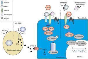 El receptor sensible al calcio se antagoniza por MK-5442 y desencadena explosiones cortas de secreción de PTH. La unión de PTH a su receptor mejora las funciones de los osteoblastos y la formación de hueso. La presencia de antagonistas de Wnt - DKK-1 y esclerostina inhiben la señalización. El DKK-1 se necesita para formar complejo con Kremen y posteriormente se une a LRP5/6, mientras que la esclerostina se une directamente a LRP5/6. El BHQ-880 y AMG-785 son anticuerpos de DKK-1 y antiesclerostina respectivamente. Después de neutralizar el DKK-1 y la esclerostina, el Wnt puede unirse al LRP5/6, lo que resulta en la degradación de GSK-3. Como consecuencia la -catenina es estabilizada, se acumula y se transloca al núcleo donde regula la transcripción de genes osteoblásticos. AMPc:adenosina monofosfato cíclico; APC: adenomatosis poliposis coli; CaSR:receptor sensible al calcio; DKK-1:dickkopf-1; GSK:proteína relacionada con el receptor glucógeno sintasa quinasa 3; PKa:proteína kinasa A; PRL:lipoproteína de baja densidad; PTH:hormona paratiroidea; PTH1R:receptor PTH1. Adaptada y modificada de Rachner TD, Khosla D, Hofbauer LC. Osteoporosis: Now and the future. Lancet. 2011; 377: 1276-87.