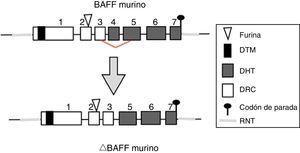 Gen del BAFF murino. Los exones están representados en cajas; los intrones, en líneas gruesas grises. DHT: dominio homología TNF; DRC: dominio rico en cisteína; DTM: dominio transmembrana; RNT: regiones 5' y 3' no traducidas. Fuente: Diseño y concepción Betancur et al. (2015).