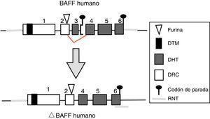 Variante delta BAFF en el humano. Los exones están representados en cajas; los intrones, en líneas gruesas grises. DHT: dominio homología TNF; DRC: dominio rico en cisteína; DTM: dominio transmembrana; RNT: regiones 5' y 3' no traducidas. Fuente: Diseño y concepción Betancur et al. (2015).