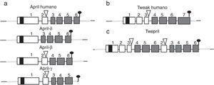 Variantes de APRIL (a proliferation-inducing ligand) y TWEAK (tumor necrosis factor [TNF]-like weak inducer of apoptosis) humanos. Los exones están representados en cajas; los intrones, en líneas gruesas grises. DHT: dominio homología TNF; DRC: dominio rico en cisteína; DTM: dominio transmembrana; RNT: regiones 5' y 3' no traducidas. Fuente: Diseño y concepción Betancur et al. (2015).