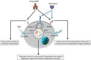 Funciones de BAFF y APRIL e interacciones con receptores TLR7 y TLR 9. Fuente: Diseño y concepción Betancur et al. (2015).