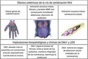 Efectos sistémicos de la vía de señalización Wnt y su inhibidor Dkk1.