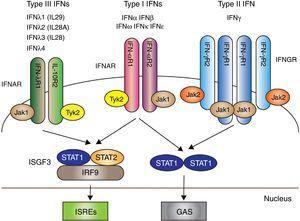 Los 3 tipos de IFN con sus respectivas vías de señalización intracelular. Los IFN tipos I, II y III se acoplan a través de receptores distintos (IFNAR, IFNGR y IFNLR, respectivamente) con la transducción de señales mediada por la activación de JAK/STAT. Posterior a ello se producen mecanismos que dan como resultado la trascripción de genes para la producción de IFN. Fuente: adaptado de Amezcua-Guerra et al.66.