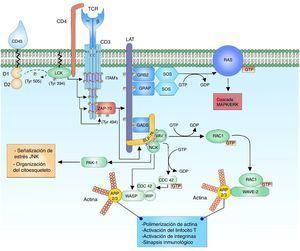 Unión de complejo TCR y pMHC. La unión de TCR y el péptido asociado a MHC genera la primera señal citoplasmática para la activación linfocitaria a través del correceptor CD3. La cinasa LCK de la familia de cinasas SRC se encuentra unida al correceptor CD4, lo cual facilita la fosforilación de los residuos de tirosina de las secuencias patrón ITAM de las cadenas heterodímeras CD3 δ??, γ?? y el homodímero ζζ del TCR, permitiendo el reclutamiento y la activación de ZAP-70. LCK activa ZAP-70 por medio de la fosforilación de su dominio regulador, permitiendo su función completa como cinasa..