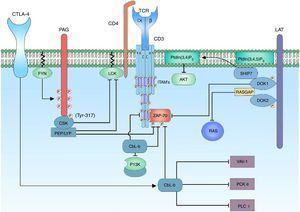 Regulación negativa de la señal de activación del complejo TCR. La regulación negativa de la señal de activación del TCR es importante para evitar procesos de anergia. En los linfocitos T, las proteínas c-Cbl y Cbl-b están encargadas del control de la señalización por medio de la ubiquitinación de receptores activos y receptores asociados a tirosina cinasa. Activado el correceptor CTLA-4, hay activación de la proteína Cbl-b para la regulación de la señal linfocitaria; este interactúa con la subunidad p85 de la enzima PI3K, regulando de esta forma la señal que proviene del correceptor CD28. Cbl-b interactúa con proteínas claves en la activación linfocitaria como VAV-1 y PLCy, inhibiendo la activación de PKC θ.