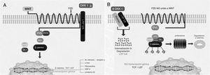 Componentes de la vía canónica Wnt. A) Estado de activación e inducción de genes. B) Estado de reposo. APC: proteína de la poliposis adenomatosa del colon; CK1: caseína cinasa 1; DKK1: Dickkopf1; Dvl: dishevelled; FZ: receptor Frizzled; GSK3β: glucógeno sintetasa cinasa 3β; LEF/TCF: factores de unión y desarrollo linfoide/factores de células T; LRP: proteína relacionada con el receptor del LDL; OSF-2: factor específico de los osteoblastos 2; WNT: Wingless. Modificado con autorización de Krishnan et al13.