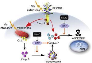Vías de activación de apoptosis: vía Intrínseca a través de la mitocondria, mediante la liberación de citocromo C (Cit C), activación de caspasa 9 (Casp. 9), formación de apoptosoma y posterior inducción de apoptosis a través de la caspasa 3 (Casp. 3); vía extrínseca a través de receptores de membrana asociados a dominios de muerte FasL o TNF-R1, activación de la caspasa 8 (Casp. 8), y posterior inducción de apoptosis a través de la caspasa 3.