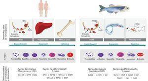 Humano vs. pez cebra. La hematopoyesis es un proceso conservado en los vertebrados. El pez cebra se ha propuesto como un modelo para estudiar este proceso debido a las características que comparte con los humanos. El origen embrionario del tejido hematopoyético en las dos especies es la placa lateral del mesodermo (PLM) que va a dar lugar al hemangioblasto y este a su vez se diferencia en los diferentes linajes celulares. Tanto en pez como en humanos la hematopoyesis se divide en dos fases, la fase primitiva y la definitiva. Durante la fase definitiva se generan las células madre hematopoyéticas (CMH) que van a mantener las diferentes poblaciones celulares durante el resto de la vida del organismo. En los humanos, esta fase comienza a partir de la generación de CMH en la región de la aorta-gónadas-mesonefros (AGM), posteriormente estas células migran al hígado fetal donde hay una expansión de los precursores hematopoyéticos y finalmente migran y colonizan la médula ósea, sitio definitivo de hematopoyesis. En el pez algunos sitios de hematopoyesis difieren al humano. Tras la diferenciación de la PLM, y la generación de CMH en la región de la AGM, las células migran al tejido caudal hematopoyético (TCH), análogo al hígado fetal. Finalmente, los precursores hematopoyéticos migran a la médula renal (análogo a médula ósea), siendo este el sitio de hematopoyesis durante la adultez. A pesar de no compartir los mismos sitios de hematopoyesis, los linajes celulares son los mismos tanto en pez como en humanos a excepción de los basófilos que no se encuentran en el pez. Adicionalmente, las rutas génicas que gobiernan este proceso son conservadas desde la especificación de mesodermo hasta la diferenciación de los linajes. En la figura se observan algunos de estos genes presentes en los dos organismos.