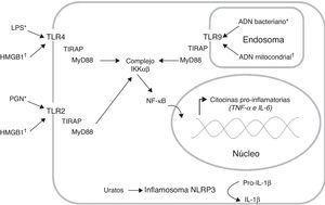 Producción de citocinas pro-inflamatorias a través de la activación de distintos receptores de reconocimiento de patrones (PRR). Los receptores tipo toll (TLR) reconocen tanto patrones moleculares asociados a patógenos (PAMP*) como patrones moleculares asociados a daño (DAMP†). La interacción ligando receptor induce el reclutamiento de las moléculas adaptadoras TIRAP y MyD88, lo cual activa la vía de señalización que permite la disociación del complejo IKKαβ para liberar el factor de transcripción NF-kB; este factor se transloca al núcleo e induce la transcripción de los genes que codifican citocinas pro-inflamatorias. Adicionalmente, el inflamosoma NLRP3 puede reconocer los cristales de ácido úrico, lo cual induce la conversión de la Pro-IL-1β (forma inactiva) en IL-1β (forma activa). Lipopolisacárido (LPS), peptidoglicano (PGN).