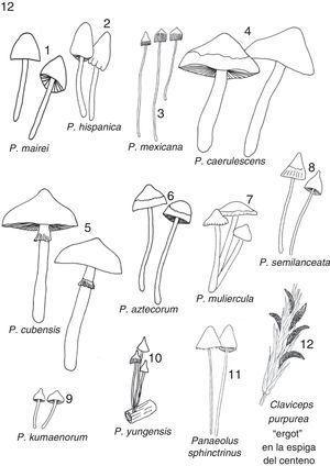 Doce especies de hongos sagrados, excepto el 11, que Reko y Schultes confundieron con P. mexicana (ver la fig. 3) (todos de Guzmán).