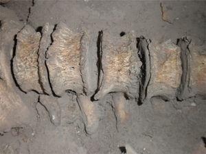 Detalle de la región lumbar, con rebordes osteofíticos en los cuerpos vertebrales (foto P. Hernández).