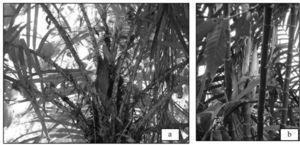 (a) Palma de chapay(a) (Astrocaryum mexicanum); (b) Palma de pacay(a) (Chamaedorea tepejilote). Fotografías de Adriana Caballero Roque.