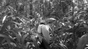 Guanal (Sabal sp.) en las planadas del sitio arqueológico Chinikihá, Chiapas, México. Foto Felipe Trabanino.