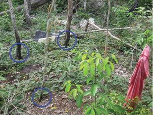 Quema microlocalizada (círculos en color azul) en la milpa comedero-trampa de don Facundo Puc, de 55 años, Comunidad de Uh May, Quintana Roo. Fuente: fotografía realizada por Dídac Santos-Fita. (2011).