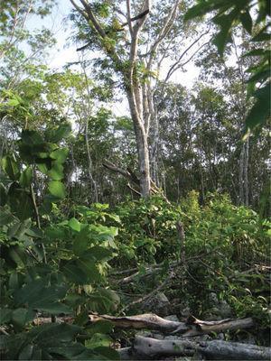 """Espiadero (rama transversal) situado a 5-6metros de altura en la milpa comedero-trampa de don """"Chak Pool"""", de 46 años, comunidad de Señor, Quintana Roo."""