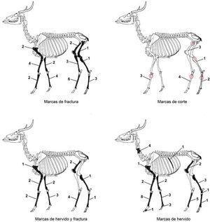 Marcas antrópicas en restos óseos de venado cola blanca (Odocoileus virginianus) en el sitio de Isla Cerritos.