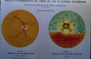 El fondo de ojo del saraguato y del león africano.
