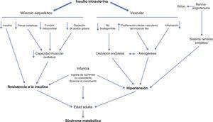 La resistencia a la insulina y la hipertensión son componentes clave del síndrome metabólico. Los insultos intrauterinos inducen varios cambios metabólicos en el músculo esquelético que resultan en el desarrollo de los índices de resistencia a la insulina. La hipertensión se puede remontar a los cambios en la vasculatura iniciadas en el útero que conducen a la disfunción endotelial y aterosclerosis.