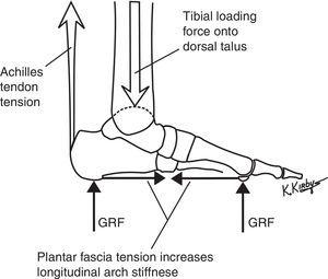 The plantar fascia is a passive structure and forms the most superficial layer of tension load-bearing elements of the longitudinal arch load-sharing system (LALSS). Spanning the plantar foot from the medial calcaneal tubercle to the digital bases, the plantar fascia passively increases its tension force when GRF acts on the plantar forefoot, which, in turn, increases the stiffness of the longitudinal arch. The increase in plantar forefoot GRF is associated with an increase in force from the tibia onto the dorsal talar dome and an increase in Achilles tendon tension force during walking and running.