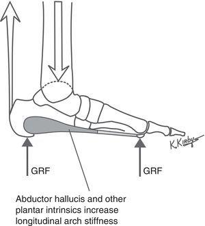 The plantar intrinsic muscles are actively controlled by the central nervous system (CNS) and form the layer of tension load-bearing elements of the LALSS just deep to the plantar fascia. The abductor hallucis, and the other plantar intrinsic muscles which span the longitudinal arch, serve to actively stiffen the longitudinal arch when GRF loads increase on the plantar foot to prevent excessive longitudinal arch flattening during weightbearing activities.