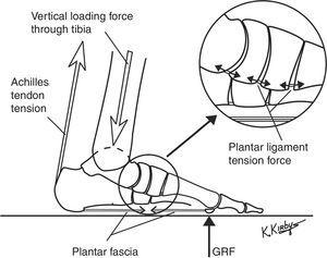 The plantar ligaments are the passive tension load-bearing elements that form the deepest layer of the LALSS. As weightbearing loads from GRF increase, the longitudinal arch flattens which increases the plantar ligaments tension force. The plantar ligaments and plantar fascia work together, without direct CNS control, to increase the longitudinal arch stiffness when longitudinal arch flattening motions increase their passive tension force. Together with the actively-controlled plantar intrinsic and plantar extrinsic muscles, the four layers of the tension load-bearing elements of the LALSS work synergistically with each other to regulate longitudinal arch stiffness during weightbearing activities.